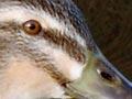 Wetland game birds: mallard ducks