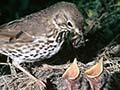Song thrush feeding chicks