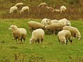Sheep farm, Southland