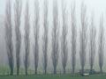 Poplars in the mist