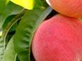 Coconut Ice peach