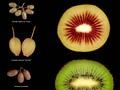 Kiwifruit cultivars