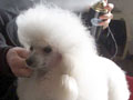 Grooming a poodle