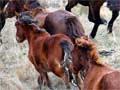 Kaimanawa wild horses