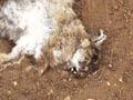 Rabbits killed by RHD