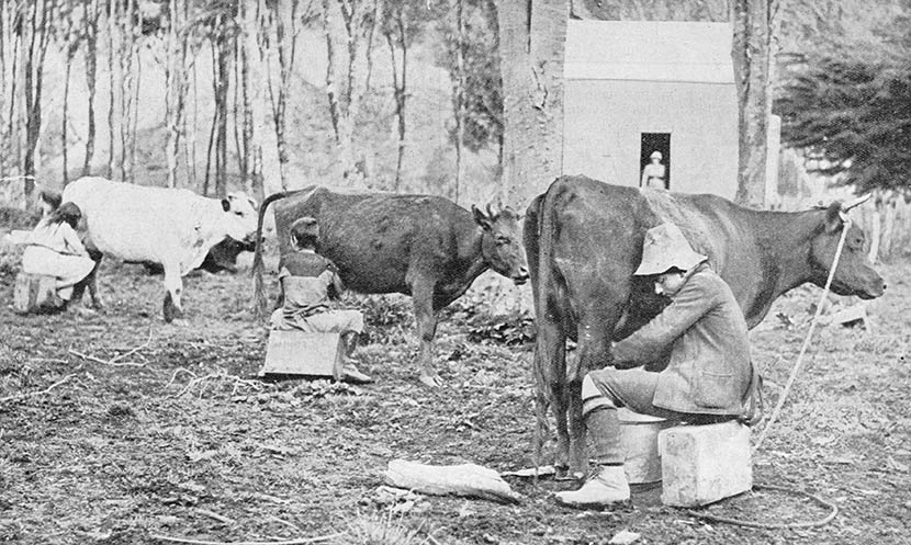 Children milking cows