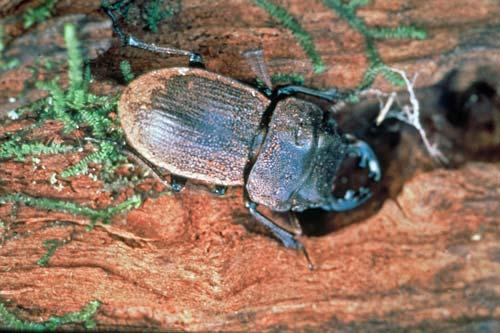 Coromandel fauna: Moehau stag beetle