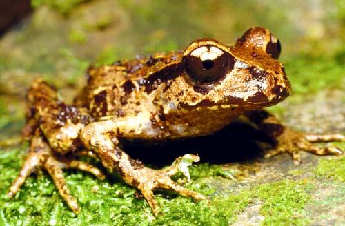 Coromandel fauna: Archey's frog