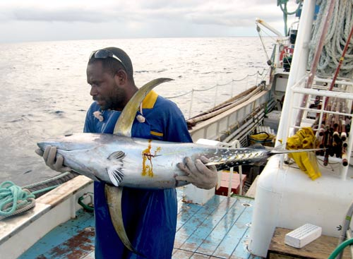 A tagged tuna is returned to the ocean as part of ...