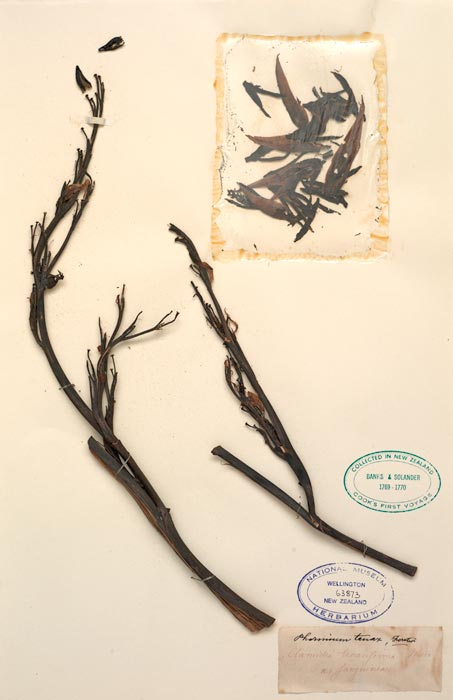 Flax collected on Cook's first voyage, 1769