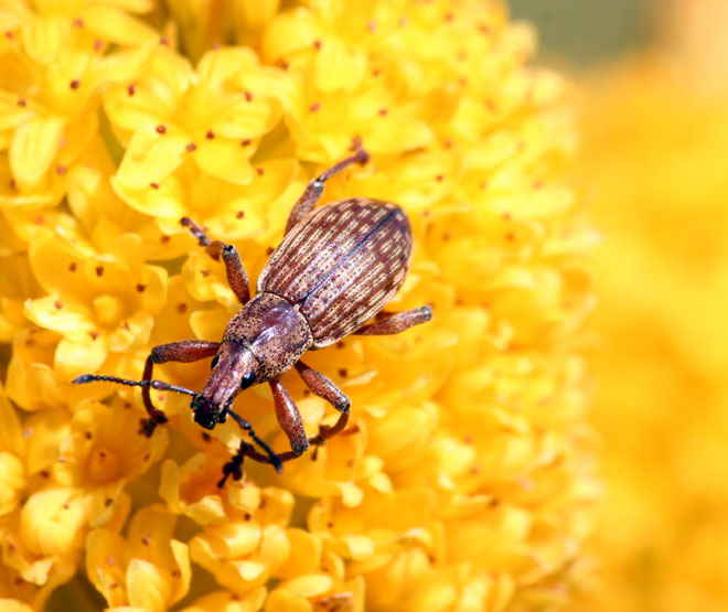 Weevil on Bulbinella rossii flower