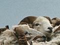 Campbell Island sheep, 1976