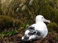 Albatross, Campbell Island