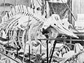 Wanganui Museum display, 1901