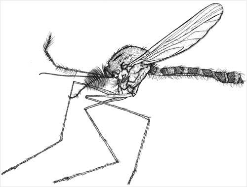 Vigilant mosquito