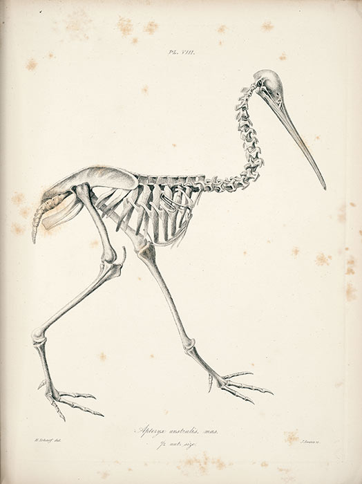 Kiwi skeleton – Kiwi – Te Ara Encyclopedia of New Zealand