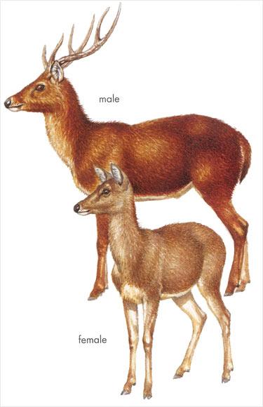 Rusa stag and deer