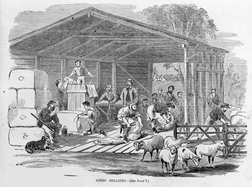 Australian shearers