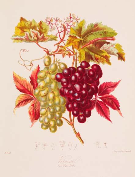 Grape plants