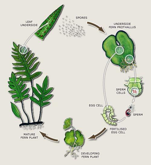 Fern Life Cycle  U2013 Ferns And Lycophytes  U2013 Te Ara