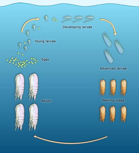 Neocalanus tonsus life cycle