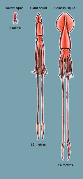 Arrow, giant and colossal squid