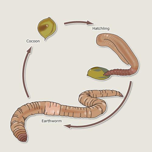 Earthworm Life Cycle Earthworms Te Ara Encyclopedia Of New Zealand