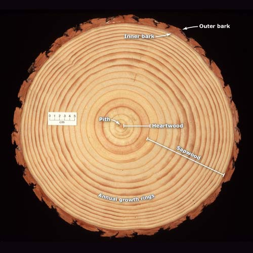 Cross-section of a pine log