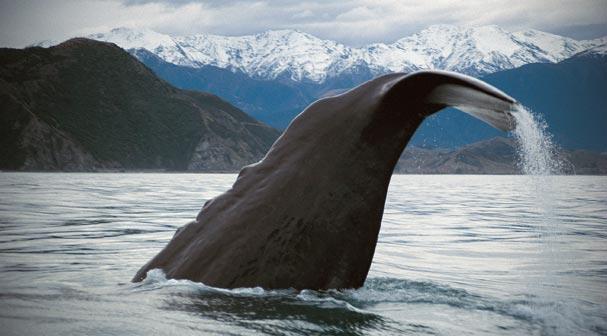 Te whānau puha – whales