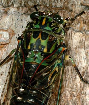 Chorus cicada