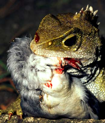 Tuatara eating a chick