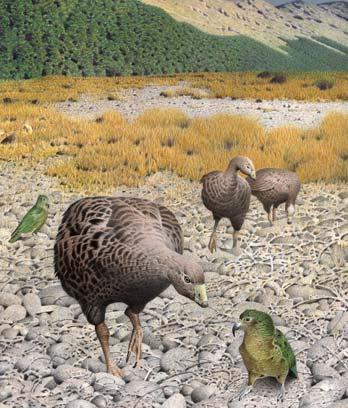 South Island geese
