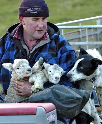 Working dog and newborn lambs