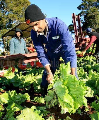 Immigrant worker Shinda Singh picking lettuces at Patumāhoe