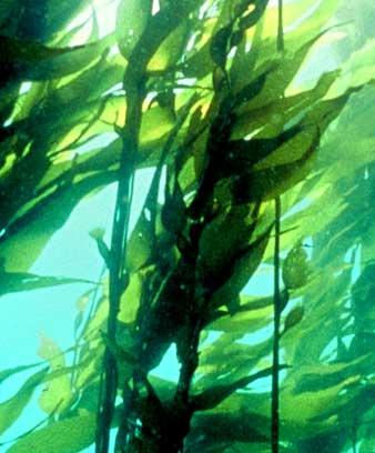 Kelp nz