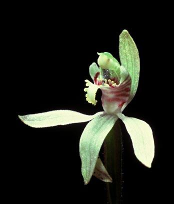 Caladenia flower