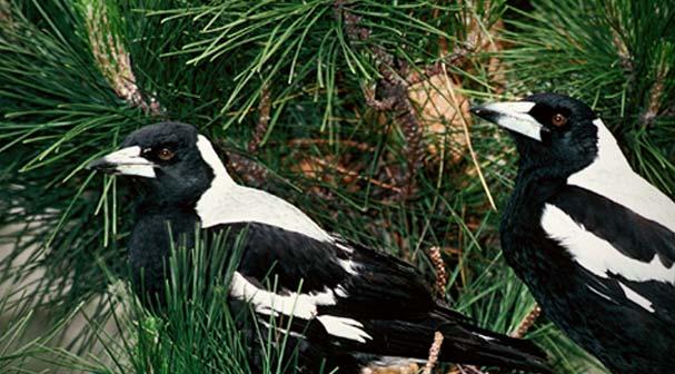 Introduced land birds
