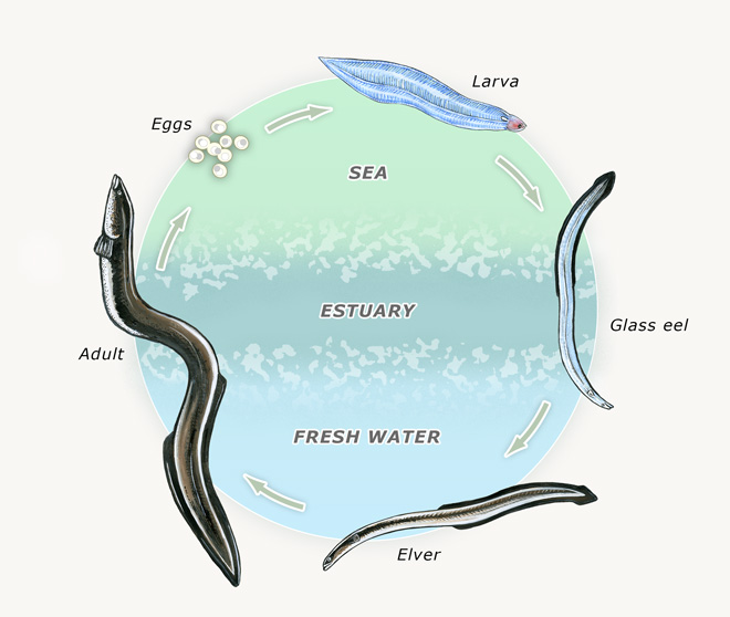 Life cycle eels te ara encyclopedia of new zealand life cycle ccuart Choice Image