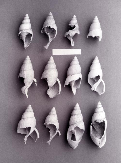 Gnawed snail shells