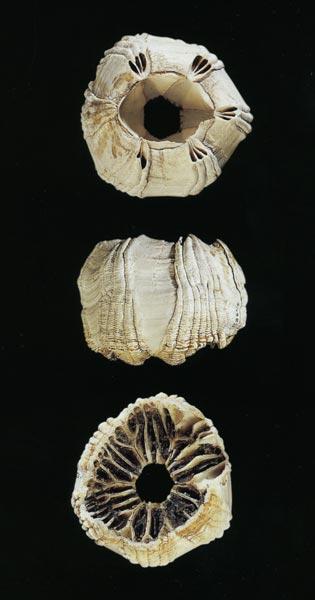 Whale barnacles (Coronula diadema) attach themselv...