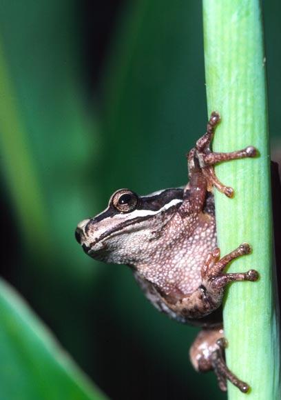 whistling frog climbing  u2013 frogs  u2013 te ara encyclopedia of