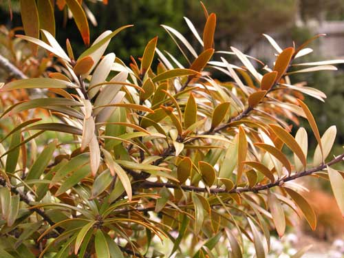 Kauri leaves are flat, oblong and leathery. Bronze...