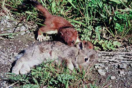 Stoat with rabbit kill