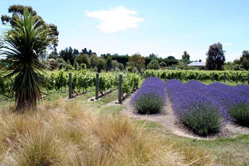 Grapevines and lavender, Waipara