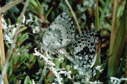 Boulder butterfly pair