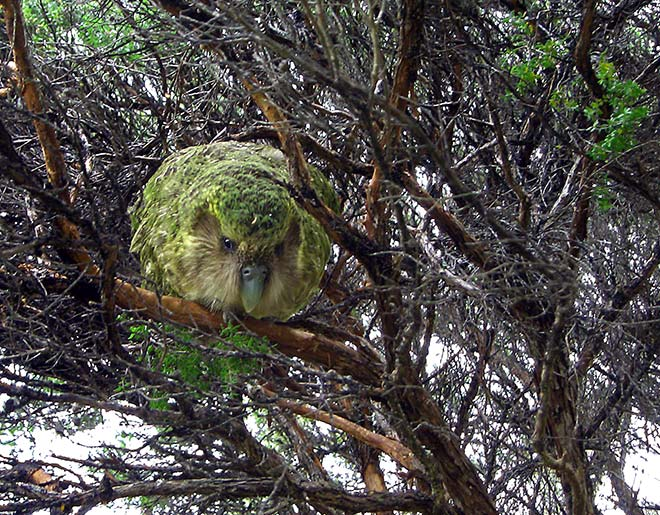 Kākāpō in a tree