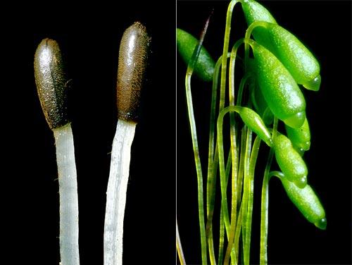 Liverwort and moss spore capsules