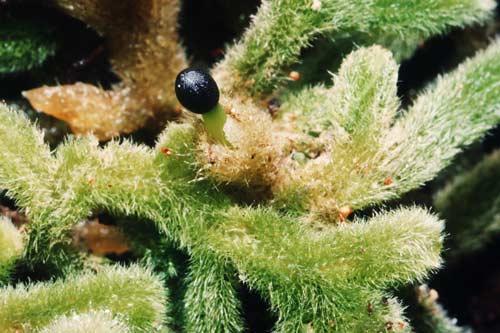 Hairy liverwort