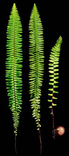 Tuber sword-fern
