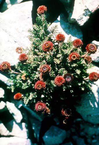 Black scree daisy